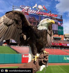 #Repost @worldbirdsanctuary  It's #openingday at Busch Stadium!  Did you catch two of our bald eagles behind home plate today? #stlcards