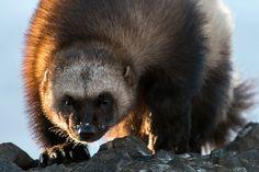Wolverine (Gulo gulo) 35PHOTO - Иван Кислов - ***