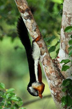 Prevost's squirrel, beautiful squirrel. Native to Southeast Asia.
