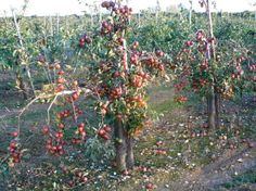 Catch up with the world's largest collection of fruit trees and bushes at the delightful Brogdale Farm, next to Faversham in Kent. Truly a wonder of the world. Awe Me, Fruit Trees, Wonders Of The World, Worlds Largest, Beautiful Places, Memories, Drink, Room, Collection