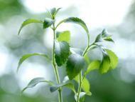 Stewia (Stevia rebaudiana). Fot. Fotolia