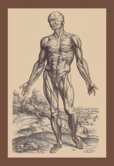 Plate of the Muscles, by Andreas Vesalius