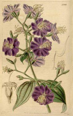 139 Lasiandra petiol