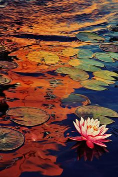 ✯ Water Lilies