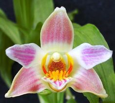 Orchid: Chysis limminghei