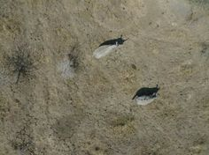 Científicos españoles utilizan drones contra la caza furtiva de rinocerontes africanos   20minutos.es