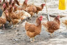 Cage-Free Eggs May Become the Norm as Industry Admits Defeat