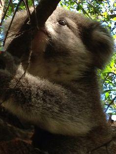 Koala, in Melbourne Australia