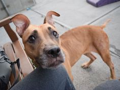 ROXY  - A1088491 - - Brooklyn  Please Share:TO BE DESTROYED 09/10/16  ***DEVASTATED SENIOR!*** Roxy had the life – she and her canine BFF loved to lounge around the house together and were gentle and playful with each other. Now at 9 years old, Roxy and her housemate were dumped at the shelter due to their owner's personal problems. To make matters worse, after only 4 days, Roxy finds herself on the kill list. This poor girl has lost everything, her life has bee