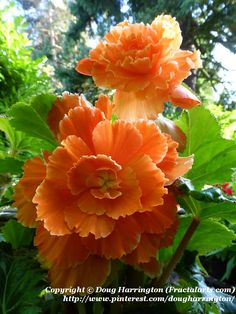 One of the best choices for shade, especially for containers. Apricot Begonias in my garden.