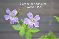 Geranium nodosum Svelte Lilac (ex 7 x pot) dry shade Free P & P Flowers Perennials, Planting Flowers, Hardy Geranium, Lilac, Garden Design, Gardening, Plants, Free, Geraniums
