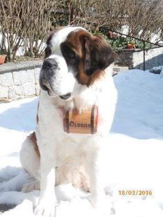 #Bernhardiner #Fass #Bernhardinerfass #Schweiz #Schnee #Hund #Divana  www.samtschnutenwunderwelt.de