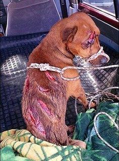 This poor baby was brutally beaten and whipped by his owner and was taken away by the aspca. Pls share so the people who harm animals understand tht this is a very violent crime and shouldn't be hurting poor innocent animals. I literally wanna cry
