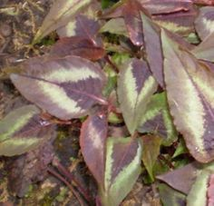 Knöterich Red Dragon - Persicaria microcephala   eBay