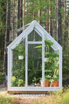 Muutaman neliön kasvihuone pursusi vihreää saapuessamme vanhempieni mökille kesäloman viettoon. Omien tomaattien ja kurkkujen kypsymistä odotettiin silmä kovana. Viimeksi kasvihuoneesta kirjoittaessani oli vielä epäselvää, minkä värityksen rakennus saisi, mutta nyt …