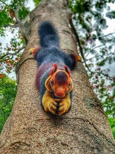 Look at this beautiful squirrel! Indian giant squirrel (Ratufa indica) in Achankovil forest, Kerala, India. shared from Avantgardens Unusual Animals, Rare Animals, Wild Animals, Giant Animals, Colorful Animals, Cute Funny Animals, Cute Baby Animals, Fluffy Animals, Beautiful Creatures