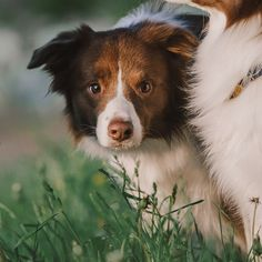 Dog Photos, Dog Pictures, Doggies, Dogs And Puppies, Earth Angels, Australian Shepherds, Cat Paws, Border Collies, Dog Photography