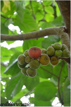 10 Top Medicinal Uses Of Gular Tree | Athipalam (Ficus Racemosa) | wildturmeric