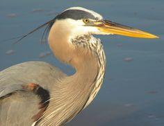 heron on the beach 4.28.12