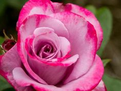 Add a lavender bicolor rose to your garden with the beautiful bicolor blooms of Paradise. Flowers feature lavender petals edged with ruby and boast a fruity fragrance. Leaves on this Hybrid Tea rose offer strong disease resistance.