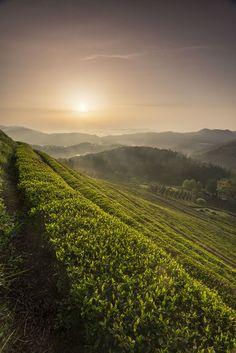 Green tea field, Bosung, Korea. #TeaCultivation #TeaField