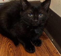 Meet Penny, an adoptable Domestic Short Hair looking for a forever home. If you're looking for a new pet to adopt or want information on how to get involved with adoptable pets, Petfinder.com is a great resource.