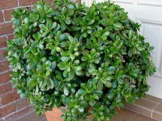 Crassula ovata 'Minima' - Miniature Jade