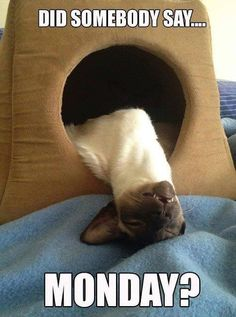 Siamese Cat Gallery - Cat's Nine Lives Funny Monday Memes, Monday Humor, Cat Memes, Kittens Cutest, Cats And Kittens, Cute Cats, Baby Animals, Funny Animals, Cute Animals