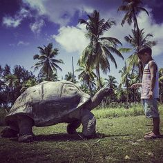 On Curieuse Island in the #Seychelles you can find 500 of the rare Aldabra tortoises native to this island (the biggest tortoises on the planet). In 1771 the whole island was set on fire as sailors thought it would be easier for harvesting Coco de Mer nuts, wiping out all the giant #tortoises in the process, which have since been reintroduced. #travel #traveling #holiday #vacation #sun #love #instatravel #instalife #beautiful #amazing #travelgram #travelphotography #photooftheday #travelpic…