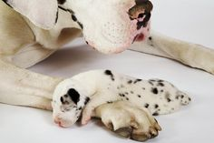 cute cute cute!! tiny baby dane pup and his mama! the size of her paws vs his tiny little body is just amazing!