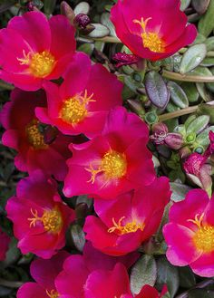 ~~Portulaca ~ Portulaca grandiflora my mother's favorite flower