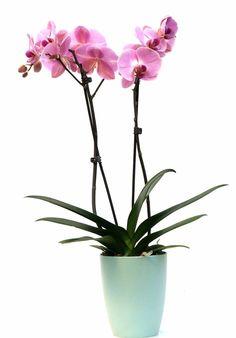 Vlinderorchidee Roze in Elho pot