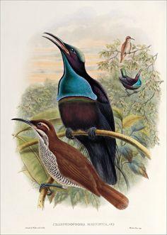 Aves Richard Bowdler Sharpe_ del paraíso 10