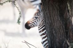 The plains zebra is found across east and southern Africa savannahs but continued population decline and threatens its survival. Learn what AWF is doing to protect this iconic species plus interesting zebra facts. Wild Animals List, Plains Zebra, Wildlife Conservation, African Animals, Endangered Species, Zebras, Predator, Habitats, Africa