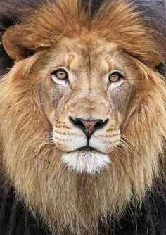 Lion Eyes by K Fogarty, via Flickr  www.kfogarty2000.wix.com/photos