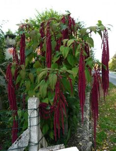 Lovely, dramatic plant, not commonly used in gardens today - Weeping Red Amaranth Amaranthus caudatus - 300 Seeds