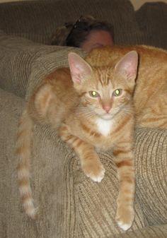 Lost Cat - Tabby - Welland, ON, Canada L3C 7B2