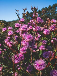 The vibrant colours of Spring have truly set in within the Inala Jurassic Garden. Brad of Pademelon Creative captured this image of the Isopogon cuneatus a few days ago within the Inala Nature Tours property on Bruny Island, Tasmania. #Spring #Flowers #GardenColours #inalajurassicgarden #plantsofgondwana #gondwana #brunyisland #bganz #garden #bloomingtasmania #gardeningaustralia #ancientplants #botany #nature #gardening #floraofaustralia #nativeplants #australianplants #botanicgarden Globe Amaranth, Luxury Garden Furniture, Butterfly Weed, Magic Garden, Olive Garden, California Poppy, Drought Tolerant Plants, Covent Garden, Better Homes And Gardens