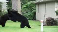 Two bears were caught fighting in a Longwood neighborhood earlier this week. Florida Black Bears around are not uncommon in this region. Seeing two in the midst of a bear brawl is something else though.