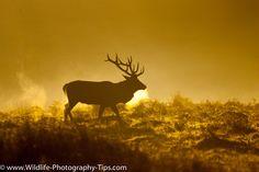 Dramatic Deer Photography - Wildlife Photography Tips Wildlife Photography Tips, Deer Photography, Red Deer, Winter Solstice, Light Art, Yule, Moose Art, Animals, Inspiration