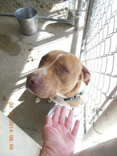 ONLY 2 FACEBOOK SHARES IN 40 DAYS!! PINNERS & ANIMAL LOVERS, CAN WE HELP CHANGE THIS? Brown pit mix FEMALE-ELIZABETH-AAC1402038. Anniston, Alabama. WILL BE EU'D FOR SPACE IF SHE DOESN'T GET OUT SOON!  https://www.facebook.com/FriendsOfCCACAnimals/photos/a.566542003430383.1073741860.300522153365704/591878124230104/?type=1&theater