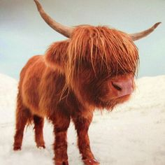 A bubba highland coo in the snow #cute #Padgram