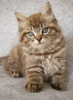For Max-- ragdoll kitten