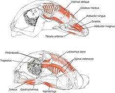 Yoga anatomy for seated head to knee pose.