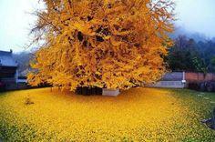 Árbol de oro, China