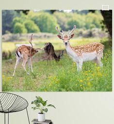 Een jong damhertje in een kleine roedel gefotografeerd in de Amsterdamse Waterleidingduinen. Ik werd duidelijk opgemerkt. Tot op zekere afstand kon ik ze benaderen maar toen ik te dichtbij kwam sprongen ze de begroeiing in en waren ze weg. Door zijn lichtbruine rug met witte stippen leek hij precies op de tekenfilmheld Bambi.