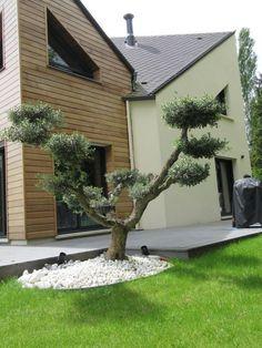 Un olivier taillé en nuage pour une ambiance Zen | Exterior ...