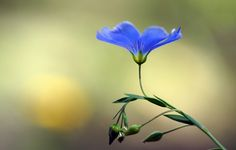 Обои картинки фото цветок, голубой, бутоны, лен