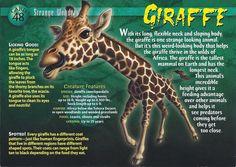 Name: Giraffe Category: Strange Wonders Card Number: 48 Front: Giraffe Strange Wonders card 48 front Back: Giraffe Strange Wonders card 48 back Trading Card: None