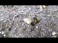 Wasp vs. butterfly - YouTube